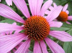Sonnenhut rosa (1).jpg